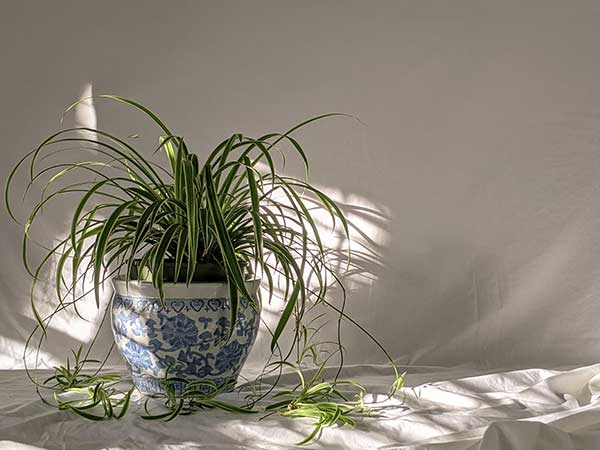 Spider Plant Air Quality Improvement for Home and House
