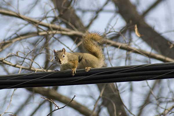 Squirrel on a Power line | Not Electricuted